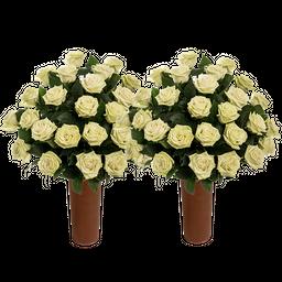 50 Rosas Verdes de Exportacion