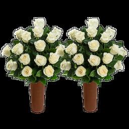 50 Rosas Blancas de Exportación