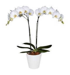 Orquidea Grande color Blanco