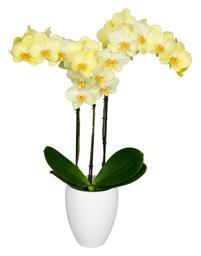 Orquidea Grande color Amarillo