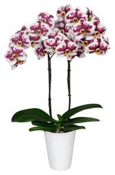 Orquidea Grande color Blanco manchas