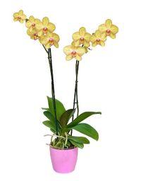 Orquidea Grande Amarillo Lineas Rosa