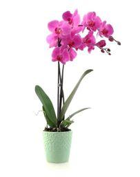 Orquidea 1 Vara Purple