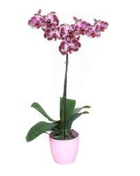 Orquidea 1 Vara Blanco Purple