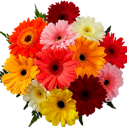 Bouquet de Gerberas Atonito