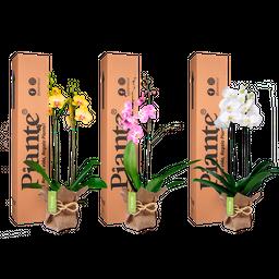 Combo 3 Orquídeas Supreme