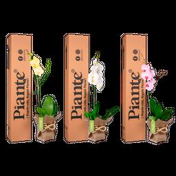 Combo 3 Orquídeas Premium