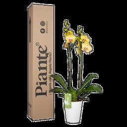 Orquídea amarilla supreme con matera plástica
