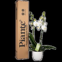 Orquídea blanca supreme con matera cerámica
