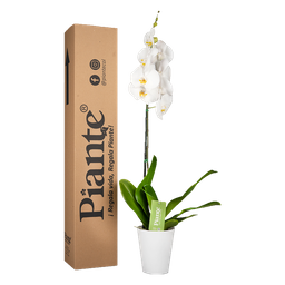 Orquídea blanca premium con matera plástica