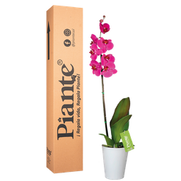 Orquídea morada premium con matera plástica