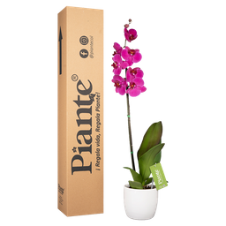 Orquídea morada premium con matera cerámica