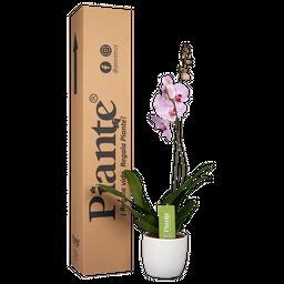 Orquídea rosada premium con matera cerámica