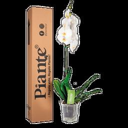 Orquídea blanca premium sin decor