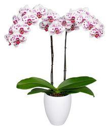 Orquidea Grande color Blanco Pink