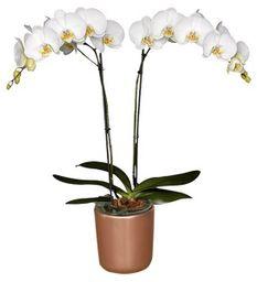 Orquidea Deluxe con Matera de Ceramica