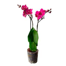 Piante Orquídea Medi Fiori – Color A Elección Del Cultivo