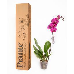 Piante Orquídea Premium Budapest