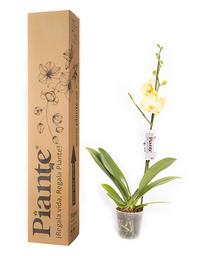 Piante Orquídea Premium Ferrara