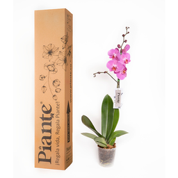 Piante Orquídea Premium Purple Dust
