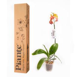Piante Orquídea Premium Surf Song