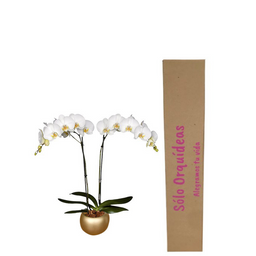 Orquídea Deluxe Blanca Con Matera de Cerámica