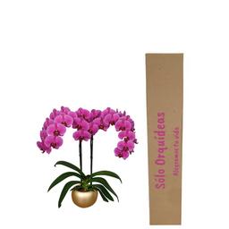 Orquídea Deluxe Fucsia Con Matera de Cerámica