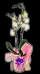 Orquídea  2 varas blanco pureza