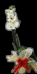 Orquídea 1 vara blanco pureza