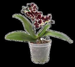 Orquídea Mini Color Disponible