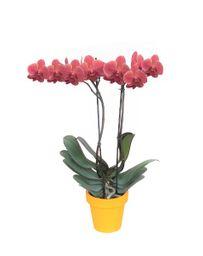 Orquidea Grande color Coral