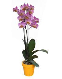 Orquidea Grande Lila